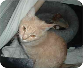 Domestic Mediumhair Cat for adoption in Scottsdale, Arizona - Boots