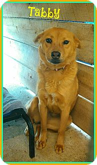 Chow Chow Mix Dog for adoption in Lawrenceburg, Tennessee - Tabby