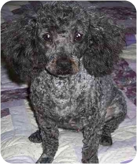 Poodle (Miniature) Dog for adoption in Mountain Home, Arkansas - Buddy - Poodle