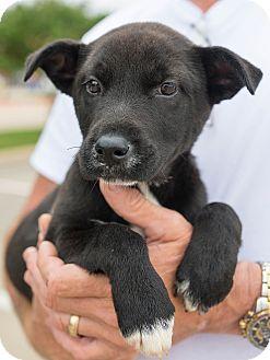 Border Collie/Labrador Retriever Mix Puppy for adoption in DFW, Texas - Caitlyn