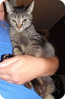 American Shorthair Cat for adoption in Albemarle, North Carolina - Beauty