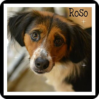 Brittany/Collie Mix Dog for adoption in Pawling, New York - Roso