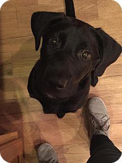 Labrador Retriever Mix Dog for adoption in China, Michigan - Ellie - PENDING ADOPTION