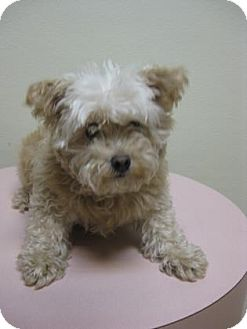 Poodle (Toy or Tea Cup)/Terrier (Unknown Type, Small) Mix Dog for adoption in Gary, Indiana - Teddy