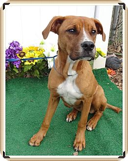 Boxer/Labrador Retriever Mix Dog for adoption in Marietta, Georgia - BUSTER - adopted @ off-site