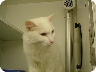 Domestic Mediumhair Cat for adoption in Olympia, Washington - 38823