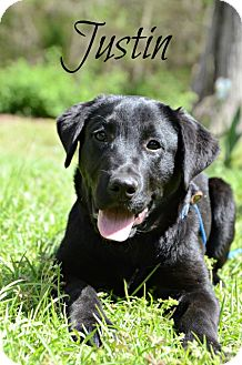 Labrador Retriever Mix Puppy for adoption in Chester, Connecticut - Justin