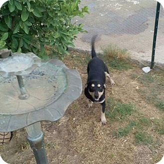 Corgi Mix Puppy for adoption in Mesa, Arizona - Bear