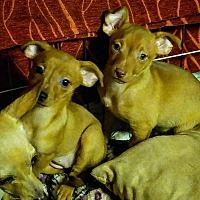 Adopt A Pet :: Heidi - Henderson, NV
