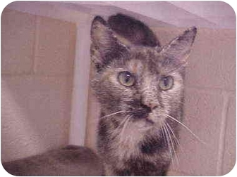 Domestic Shorthair Cat for adoption in Burnsville, North Carolina - Minerva