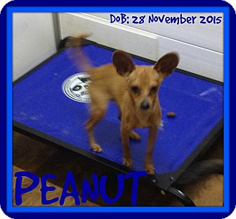 Chihuahua Dog for adoption in New Brunswick, New Jersey - PEANUT