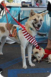 Jindo/Shiba Inu Mix Dog for adoption in La Mirada, California - Lucas
