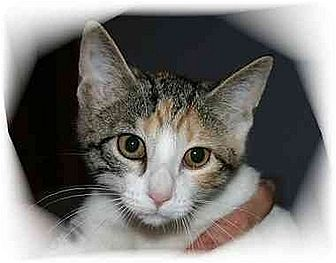 Domestic Shorthair Cat for adoption in Montgomery, Illinois - Gwen