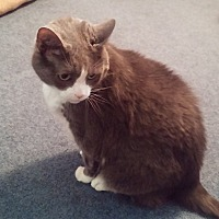 Domestic Mediumhair Cat for adoption in Hinckley, Ohio - Tyler