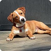 Adopt A Pet :: Payton - Potomac, MD
