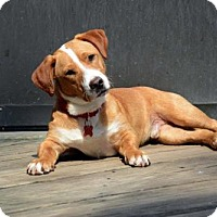 Adopt A Pet :: Payton - Adoption Pending - Potomac, MD