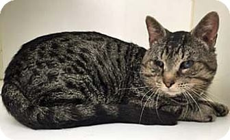 Domestic Shorthair Cat for adoption in Merrifield, Virginia - Provolone