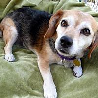 Adopt A Pet :: Sierra - Seal Beach, CA