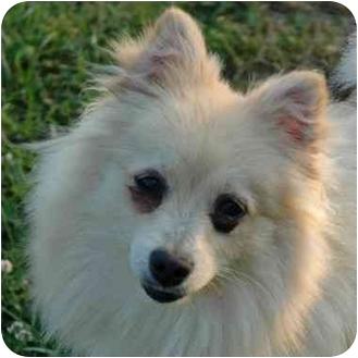 Pomeranian Dog for adoption in Westfield, New York - Pomela