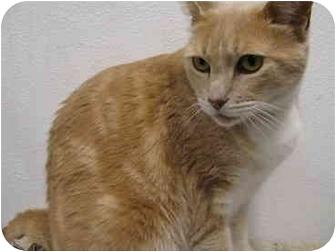Domestic Shorthair Cat for adoption in San Diego, California - Cowboy