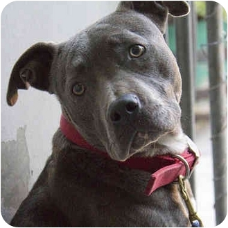 American Staffordshire Terrier Dog for adoption in Berkeley, California - Violet