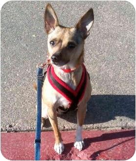 Chihuahua/Miniature Pinscher Mix Dog for adoption in Corte Madera, California - Bingo