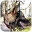 Photo 1 - German Shepherd Dog/German Shepherd Dog Mix Dog for adoption in Baltimore, Maryland - Ranger