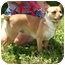 Photo 1 - Chihuahua/Jack Russell Terrier Mix Dog for adoption in Somerset, Pennsylvania - Sweetie