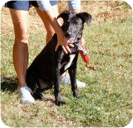 Labrador Retriever Dog for adoption in Paris, Illinois - JayJay