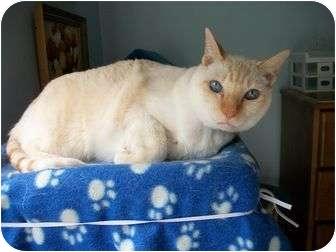 Siamese Cat for adoption in Saanichton, British Columbia - Samba