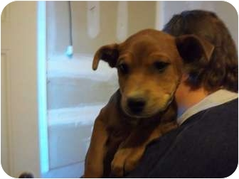 Boxer Mix Puppy for adoption in Westminster, Colorado - Willie