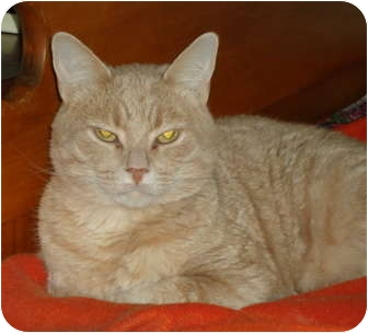 Domestic Shorthair Cat for adoption in Elmira, Ontario - Phoenix