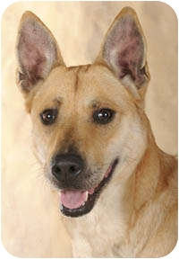 Shepherd (Unknown Type) Mix Dog for adoption in Chicago, Illinois - Ginger