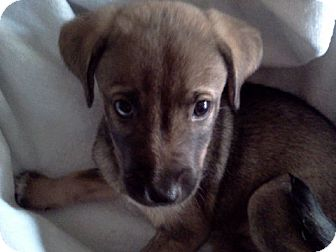 Husky Mix Puppy for adoption in Bel Air, Maryland - Timber
