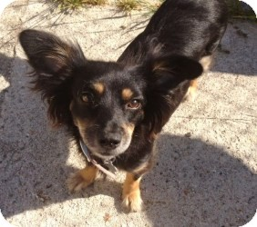 Spaniel (Unknown Type)/Dachshund Mix Dog for adoption in Encino, California - Lexi