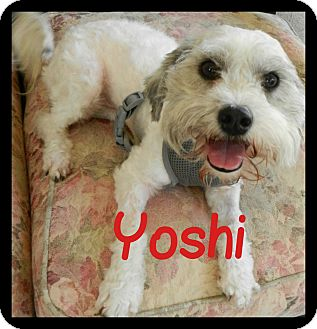 Lhasa Apso/Poodle (Toy or Tea Cup) Mix Dog for adoption in Orange, California - Yoshi