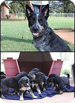 Australian Cattle Dog Mix Dog for adoption in Birmingham, Michigan - Lucinda
