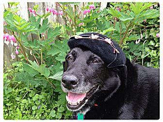 Labrador Retriever Dog for adoption in Lancaster, Pennsylvania - Denali Breary