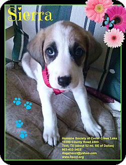 Shepherd (Unknown Type)/St. Bernard Mix Puppy for adoption in Plano, Texas - Sierra