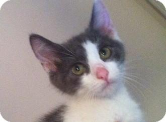 Domestic Shorthair Kitten for adoption in Baltimore, Maryland - Pandora