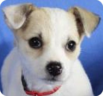 Jack Russell Terrier Mix Puppy for adoption in Minneapolis, Minnesota - Allie