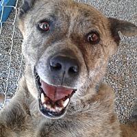 Akita/Shepherd (Unknown Type) Mix Dog for adoption in Littlerock, California - Buddy