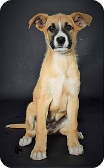 German Shepherd Dog Mix Puppy for adoption in Studio City, California - Taylor