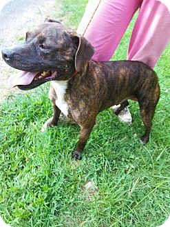 Pit Bull Terrier Mix Dog for adoption in Murfreesboro, Tennessee - Trey