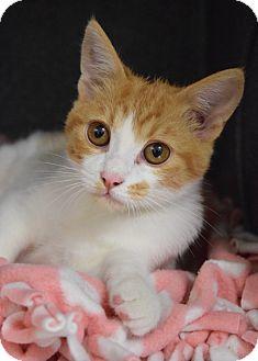 Domestic Shorthair Kitten for adoption in Dublin, California - Leonardo DiCatprio