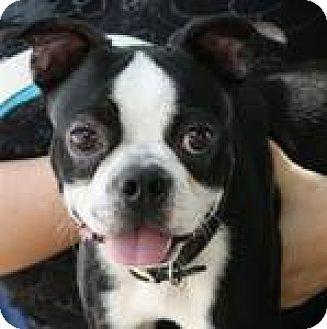 Boston Terrier Mix Dog for adoption in Newburgh, Indiana - Lamar