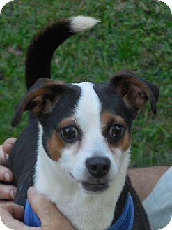 Beagle/Chihuahua Mix Dog for adoption in Ormond Beach, Florida - Oliver