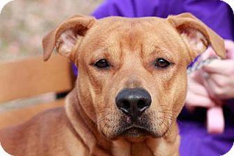 Terrier (Unknown Type, Medium) Mix Dog for adoption in Edwardsville, Illinois - Bumper