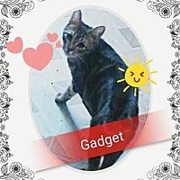 Adopt A Pet :: Gadget - San Bernardino, CA