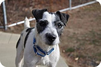 Jack Russell Terrier Mix Dog for adoption in Lebanon, Maine - Charlie